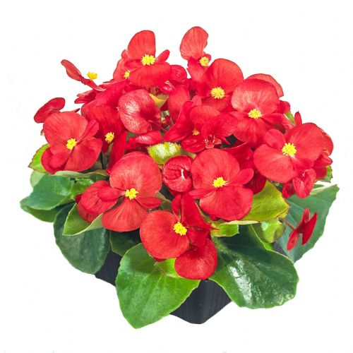 Begonia Semperflorens Green Leaf Red
